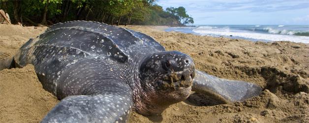 Tamarindo costa rica voyage agence de voyage tortue ponte des oeufs