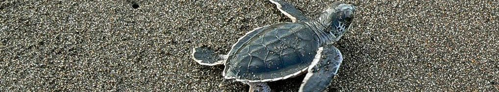 parc national de tortuguero costa rica voyage ponte tortue