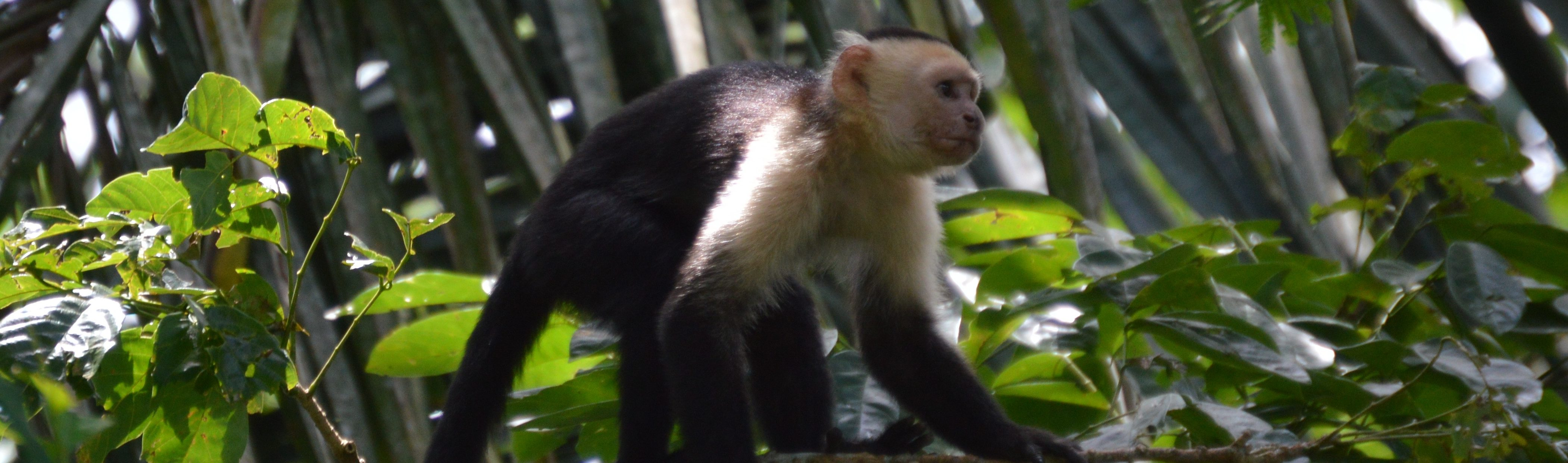 Refuge de la vie sauvage caño Negro capucin Costa Rica Voyage