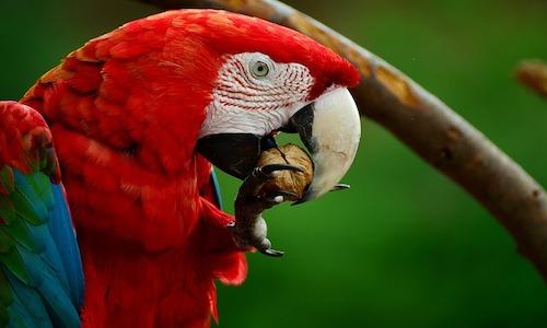 animaux emblématiques, ara rouge Costa Rica, costa rica voyage, agence francophone, sur mesure