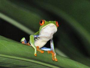 animaux emblématiques du Costa Rica, grenouille aux yeux verts, costa rica voyage, agence francophone, sur mesure