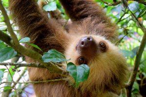 Animaux emblématiques du Costa Rica, paresseux, costa rica voyage, agence francophone, sur mesure