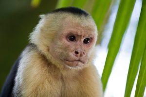 animaux emblématiques du Costa Rica, singes capucins, costa rica voyage, agence francophone, sur mesure