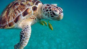animaux emblématiques du costa rica, tortue marine, costa rica voyage, agence francophone, sur mesure