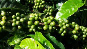 café, plantation de café, costa rica voyage, agence francophone, sur mesure