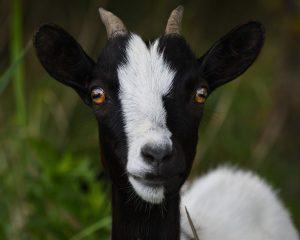 espèces invasives, chèvre, costa rica voyage, agence francophone, sur mesure