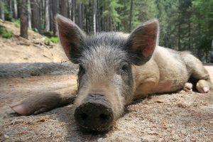 espèces invasives, cochons, costa rica voyage, agence francophone, sur mesure