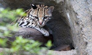 félins au Costa Rica, Ocelot, costa rica voyage, agence francophone, sur mesure