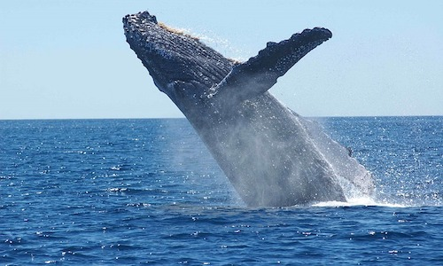 baleines, baleines au costa rica, félins au Costa Rica, Oncille, costa rica voyage, agence francophone, sur mesure