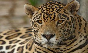 félins, jaguar, costa rica voyage, agence francophone, sur mesure