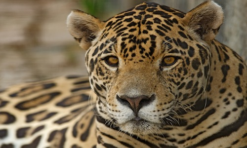 félin, jaguar, costa rica voyage, agence francophone, sur mesure