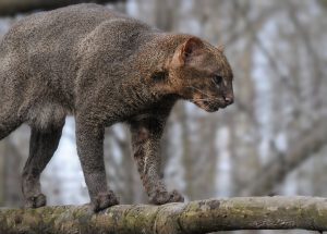 félins, jaguarondi, costa rica voyage, agence francophone, sur mesure