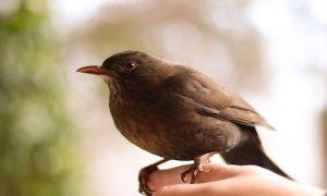 oiseau national du Costa Rica, yiguirro, costa rica voyage, agence francophone, sur mesure