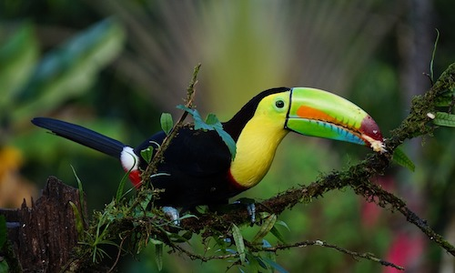 oiseux, toucan, costa rica voyage, agence francophone, sur mesure