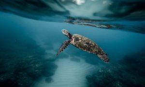 protection des tortues de tortuguero, tortue marine, costa rica voyage, agence francophone, sur mesure