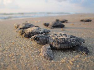 protection des tortues de tortuguero, naissance de tortues de mer, costa rica voyage, agence francophone, sur mesure