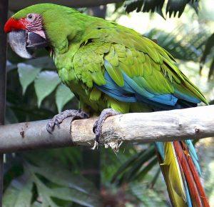 s'engager pour protéger l'Ara Buffon, perroquet, costa rica voyage, agence de voyages sur mesure