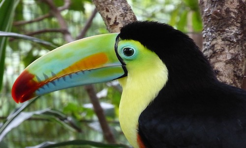 voyage au costa rica, toucan , costa rica voyages