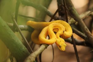 vipere schlegel, serpents venimeux, costa rica voyage, agence francophone, sur mesure