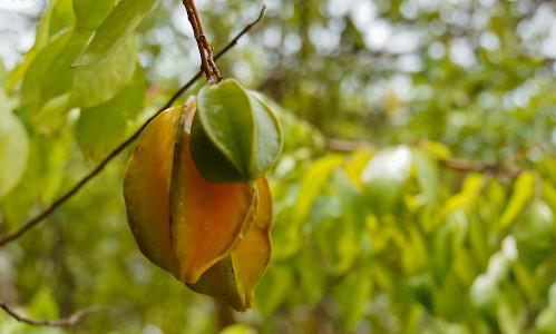 fruits incontournables au Costa Rica, carambole, costa rica voyage, agence francophone, sur mesure