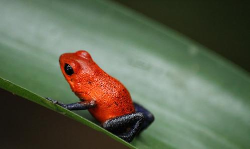 grenouille toxique, grenouilles des fraises, costa rica voyage, agence francophone, sur mesure
