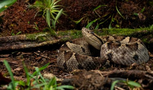 serpents venimeux du costa rica, mano de piedra, costa rica voyage, agence francophone, sur mesure