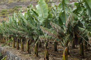 plantation bananes, bananier, costa rica voyage, agence de voyage francophone, sur mesure