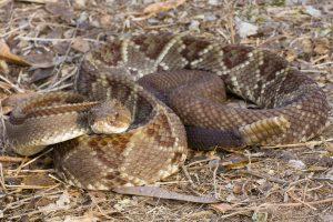 serpents venimeux du costa rica, serpent à sonnette, costa rica voyage, agence francophone, sur mesure