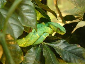 vipere palmiers, serpents venimeux, costa rica voyage, agence de voyage francophone, sur mesure
