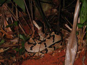vipere tête noire, serpents venimeux, costa rica voyage, agence francophone, sur mesure