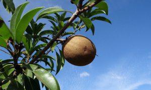 fruits incontournables au Costa Rica, zapote, costa rica voyage, agence francophone, sur mesure