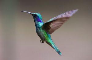 animaux costa rica, colibri, costa rica voyage, agence francophone, sur mesure
