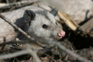 animaux sauvages au costa rica, opossums, costa rica voyage, agence francophone, sur mesure