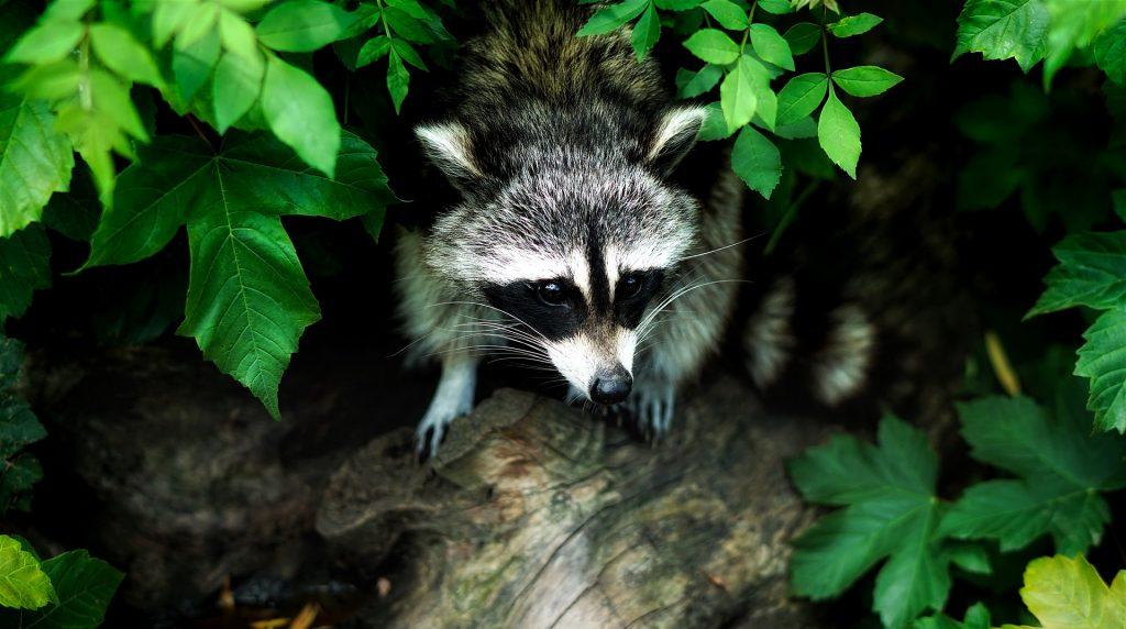 animaux sauvages au costa rica, ratons laveurs, costa rica voyage, agence francophone, sur mesure