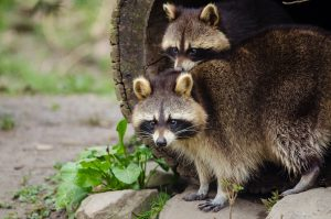 animaux sauvages, ratons laveurs, costa rica voyage, agence francophone, sur-mesure