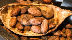 cacao au Costa Rica, graines de cacao, costa rica voyage, agence francophone, sur mesure