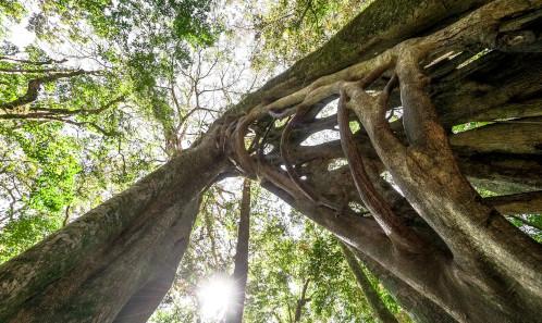 particularités des ficus au Costa Rica, arbre, Costa Rica Voyage, agence francophone, sur-mesure