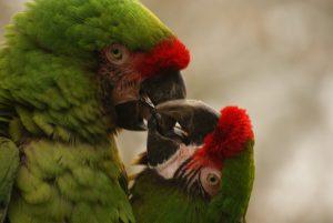 parmi les aras du Costa Rica il y a le ara de buffon, costa rica voyage est une agence francophone qui organise des voyages sur-mesure