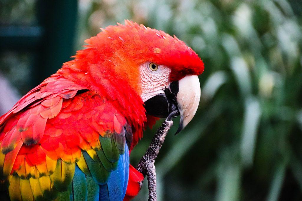 parmi les aras du Costa Rica il y a le ara de macao, costa rica voyage est une agence francophone qui organise des voyages sur-mesure