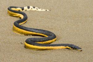 un serpent marin au costa rica est l'hydrophis platurus, costa rica voyage est une agence francophone qui organise des voyages sur-mesure