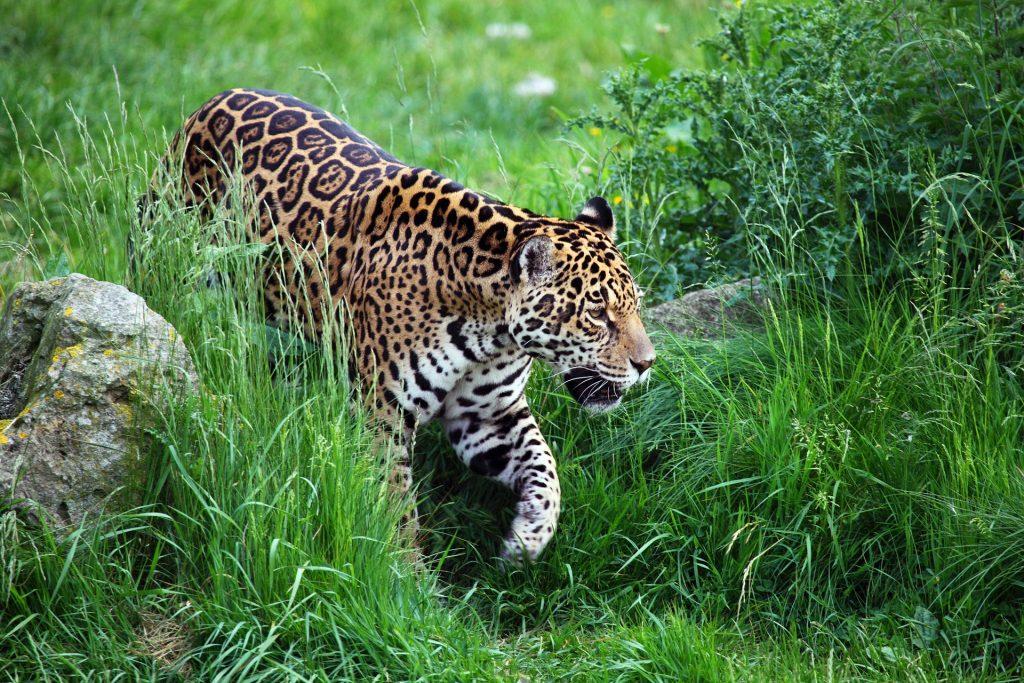Parmi les animaux les plus dangereux du costa rica, les jaguars, costa rica voyage, agence francophone, organise des voyages sur-mesure