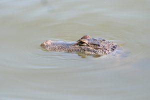 crocodiles, les caimans, costa rica voyage, agence francophone, organise des voyages sur-mesure