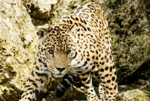 félins, les jaguars, costa rica voyage, agence francophone, organise des voyages sur-mesure