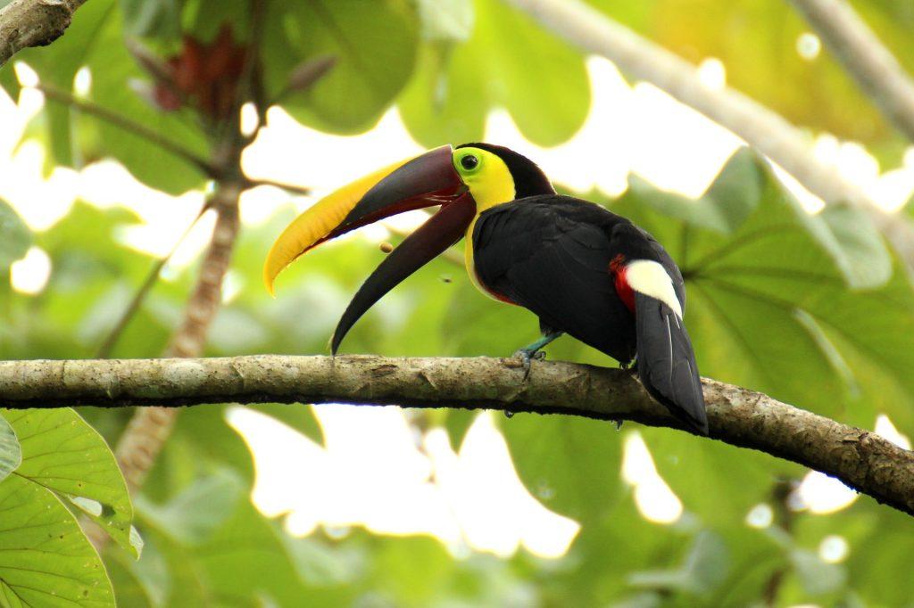 toucan au Costa Rica, oiseau, costa rica voyage, agence francophone, sur-mesure